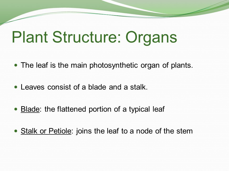 Plant Structure: Organs Vein: a vascular bundle in a leaf Monocots have parallel major veins that run the length of the leaf blade.
