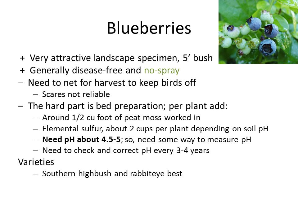Blueberries + Very attractive landscape specimen, 5' bush + Generally disease-free and no-spray – Need to net for harvest to keep birds off – Scares n