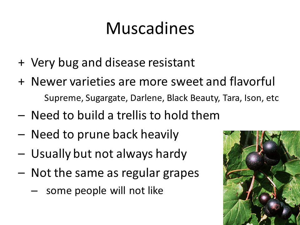 Muscadines + Very bug and disease resistant + Newer varieties are more sweet and flavorful Supreme, Sugargate, Darlene, Black Beauty, Tara, Ison, etc