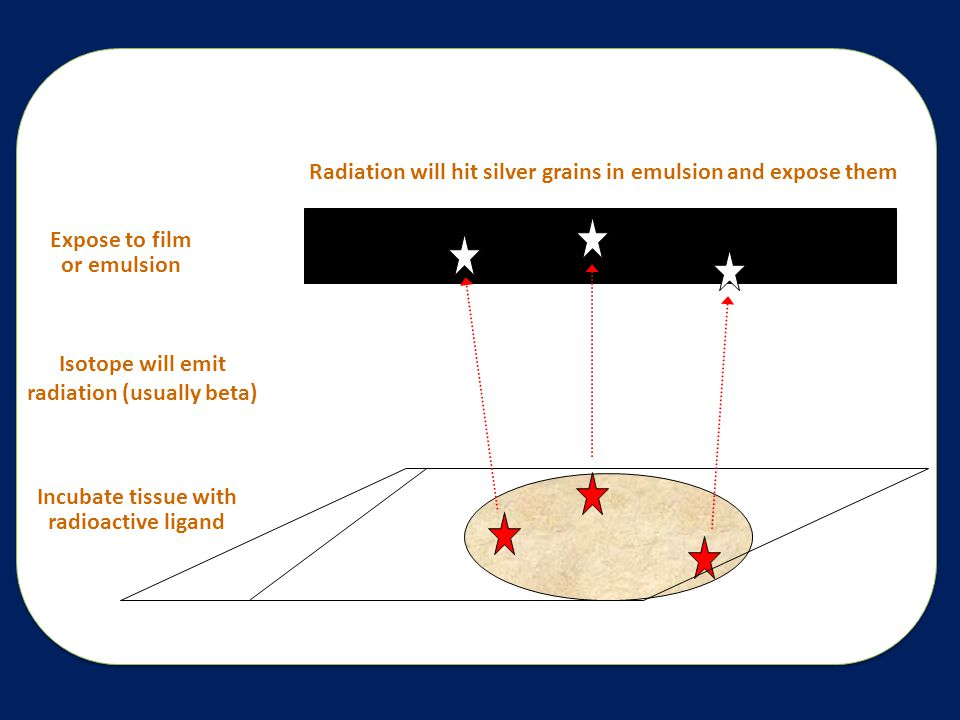 Incubate tissue with radioactive ligand Expose to film or emulsion Isotope will emit radiation (usually beta) Radiation will hit silver grains in emulsion and expose them