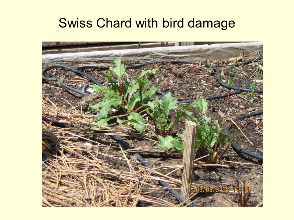Swiss Chard with bird damage