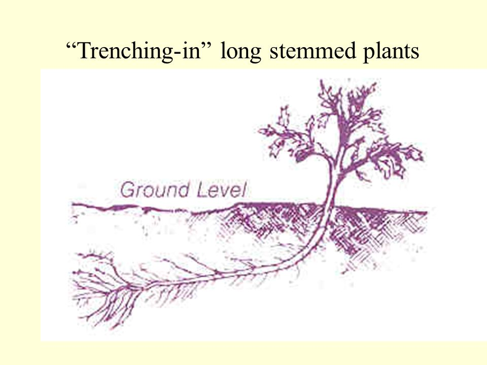 Trenching-in long stemmed plants