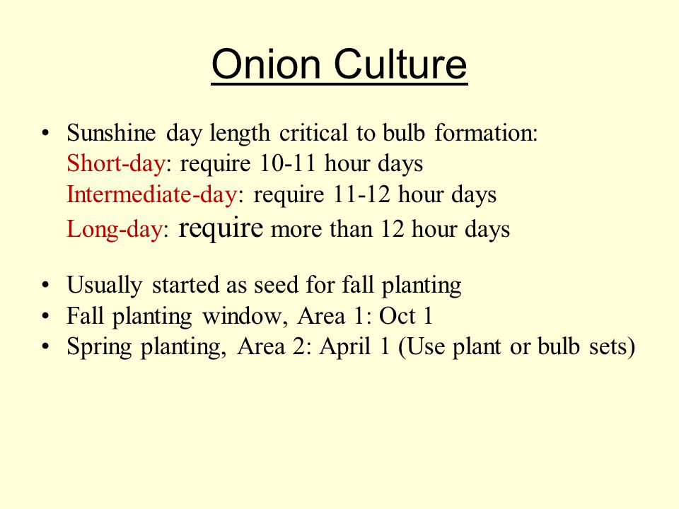 Onion Culture Sunshine day length critical to bulb formation: Short-day: require 10-11 hour days Intermediate-day: require 11-12 hour days Long-day: require more than 12 hour days Usually started as seed for fall planting Fall planting window, Area 1: Oct 1 Spring planting, Area 2: April 1 (Use plant or bulb sets)