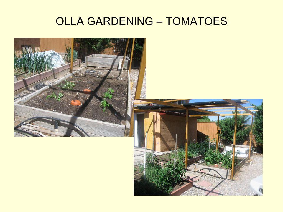 OLLA GARDENING – TOMATOES