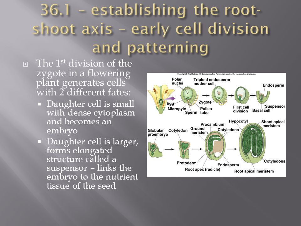  Investigating mechanisms for establishing asymmetry in plant embryo development is difficult.