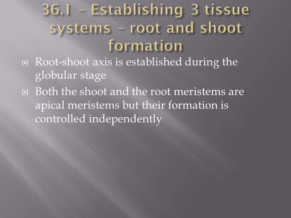  Root-shoot axis is established during the globular stage  Both the shoot and the root meristems are apical meristems but their formation is control