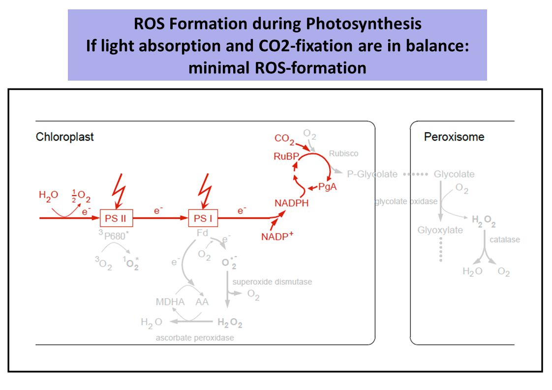ROS Formation during Photosynthesis If light absorption and CO2-fixation are in balance: minimal ROS-formation