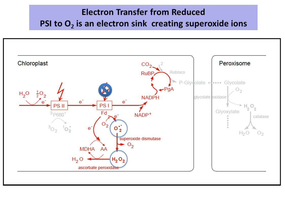 Electron Transfer from Reduced PSI to O 2 is an electron sink creating superoxide ions