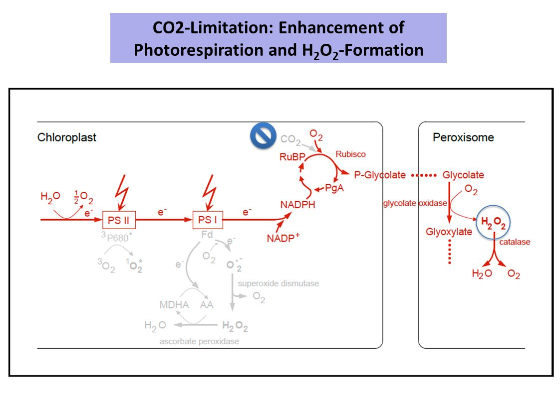 CO2-Limitation: Enhancement of Photorespiration and H 2 O 2 -Formation