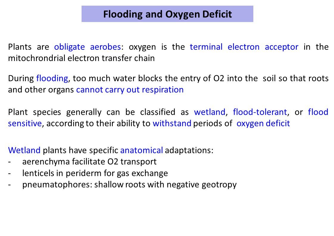 Flooding and Oxygen Deficit Plants are obligate aerobes: oxygen is the terminal electron acceptor in the mitochrondrial electron transfer chain During