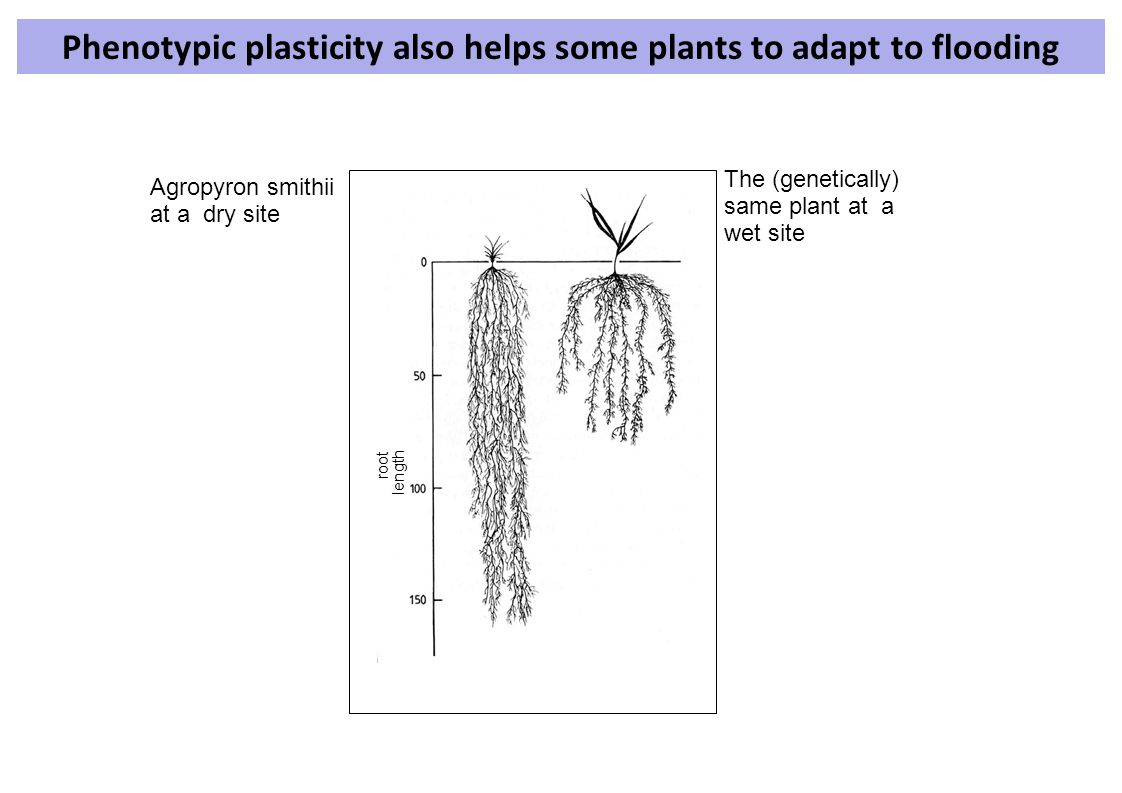 root length Phenotypic plasticity also helps some plants to adapt to flooding Agropyron smithii at a dry site The (genetically) same plant at a wet si