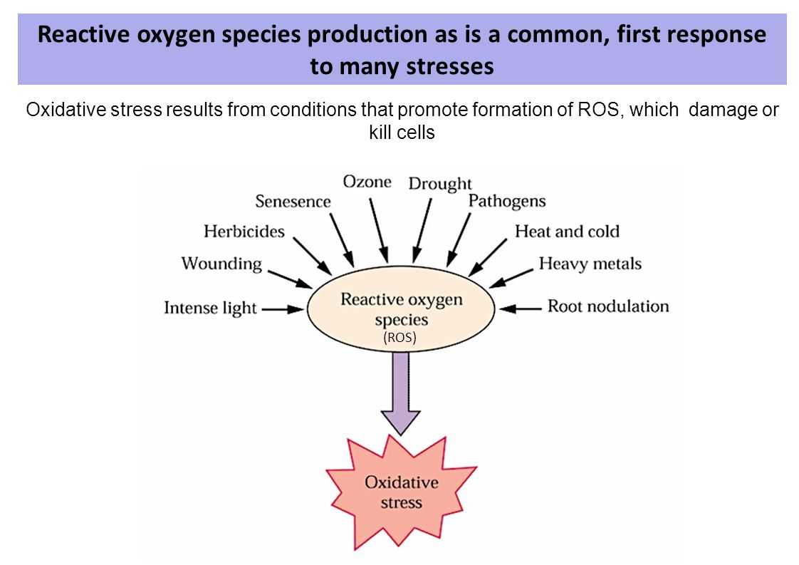Reactive oxygen species production as is a common, first response to many stresses (ROS) Oxidative stress results from conditions that promote formati