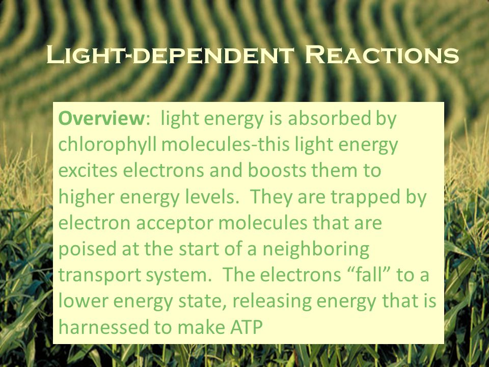 Light-dependent Reactions Overview: light energy is absorbed by chlorophyll molecules-this light energy excites electrons and boosts them to higher energy levels.