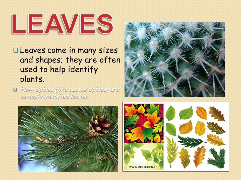  Leaves come in many sizes and shapes; they are often used to help identify plants.  Plant spines (like cactus spines) are actually modified leaves