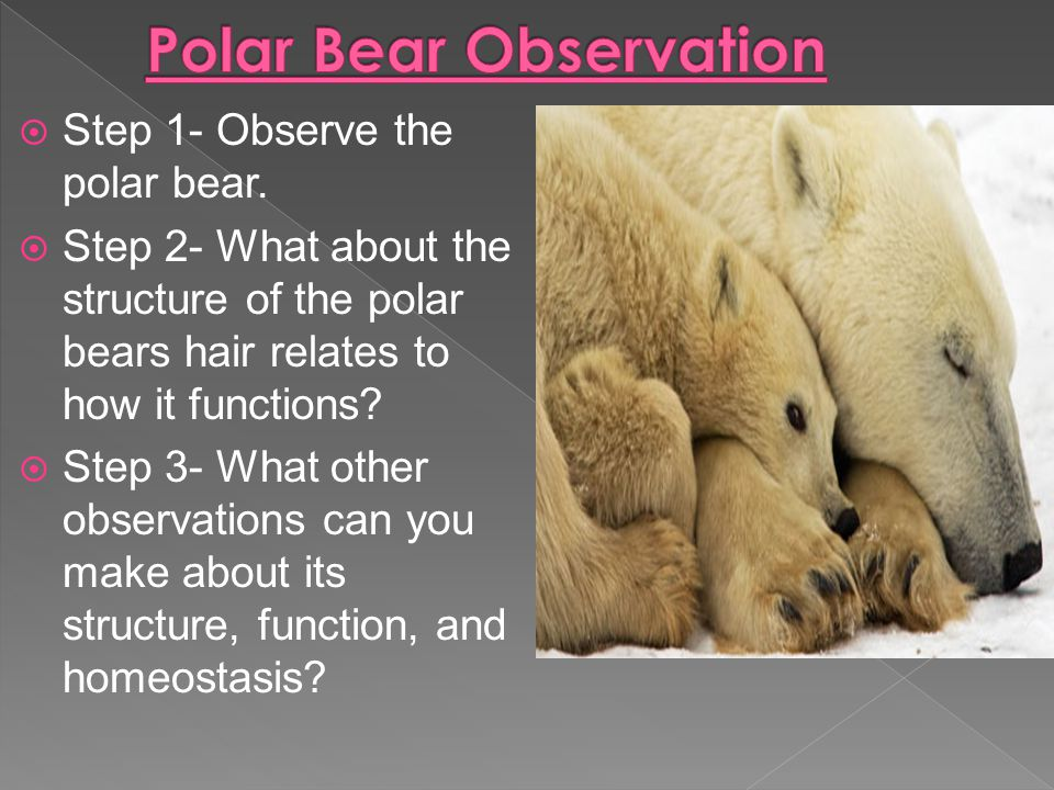  Step 1- Observe the polar bear.