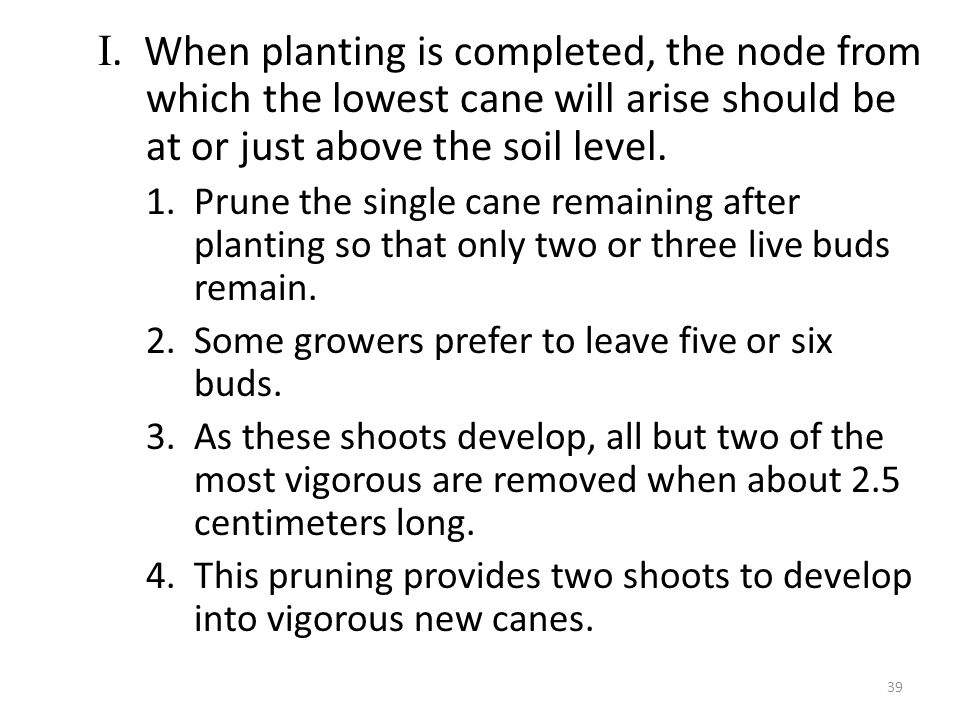 I. When planting is completed, the node from which the lowest cane will arise should be at or just above the soil level. 1.Prune the single cane remai