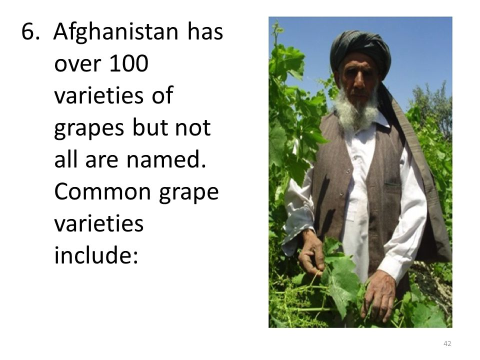 6. Afghanistan has over 100 varieties of grapes but not all are named. Common grape varieties include: 42