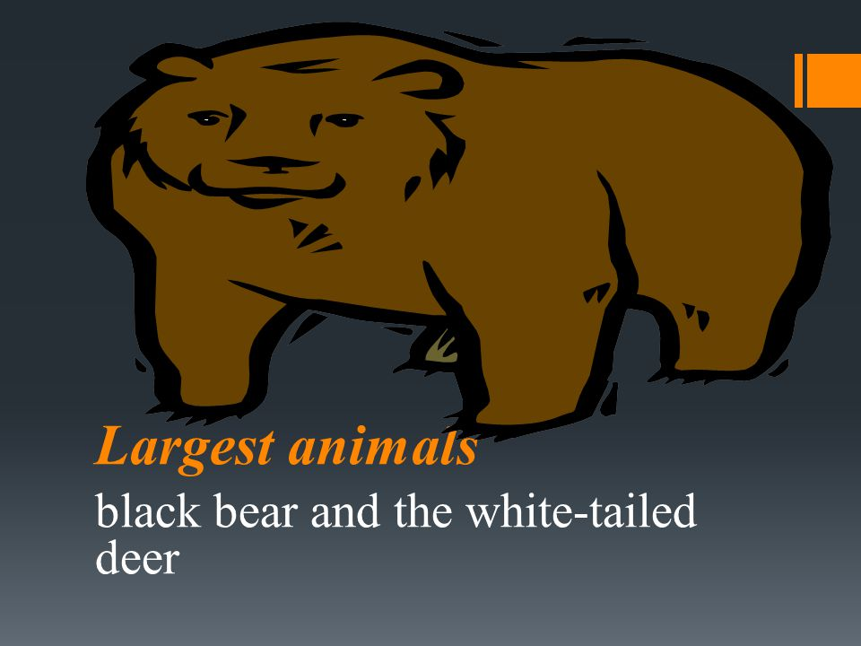 Largest animals black bear and the white-tailed deer