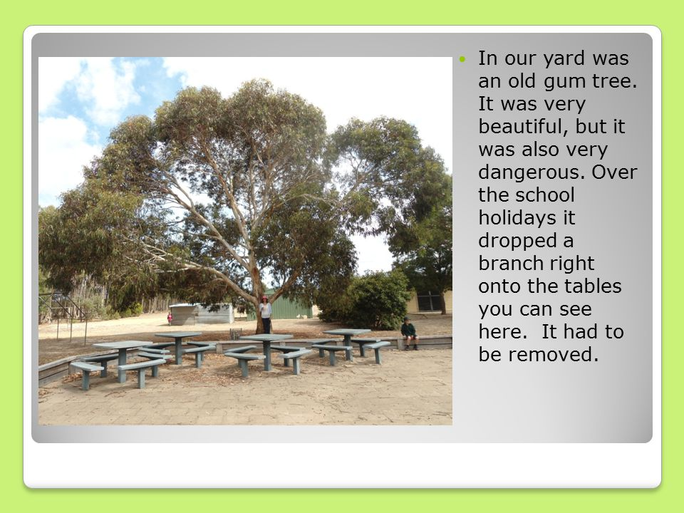 In our yard was an old gum tree. It was very beautiful, but it was also very dangerous.