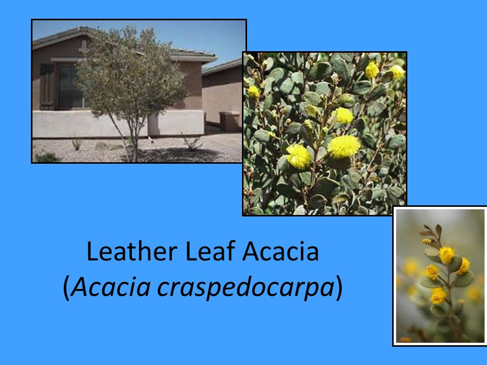 Leather Leaf Acacia (Acacia craspedocarpa)