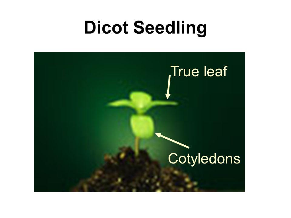 Dicot Seedling Cotyledons True leaf