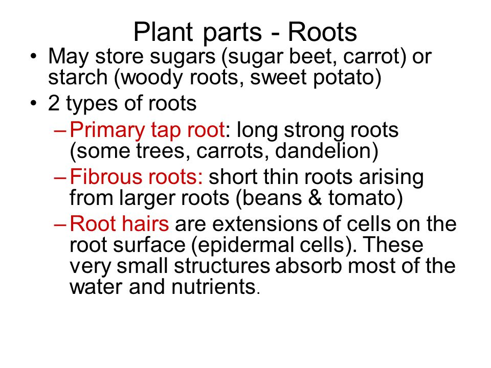 Plant parts - Roots May store sugars (sugar beet, carrot) or starch (woody roots, sweet potato) 2 types of roots –Primary tap root: long strong roots