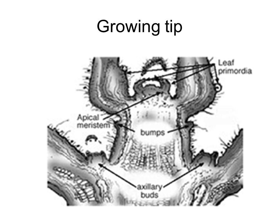 Growing tip