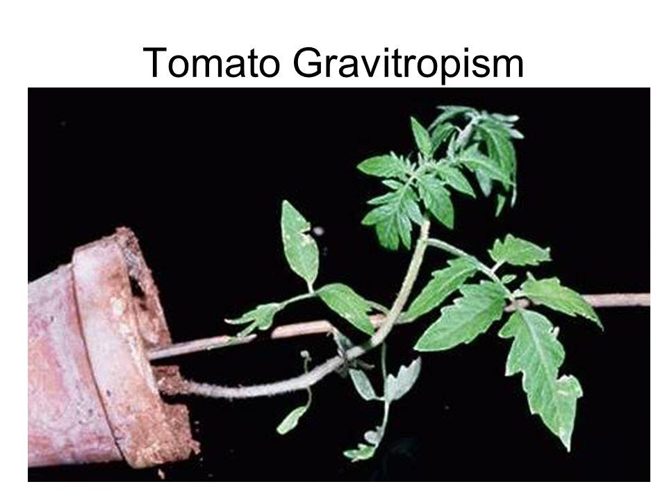 Tomato Gravitropism