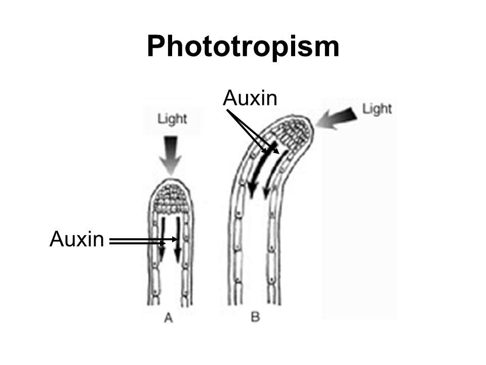 Phototropism Auxin