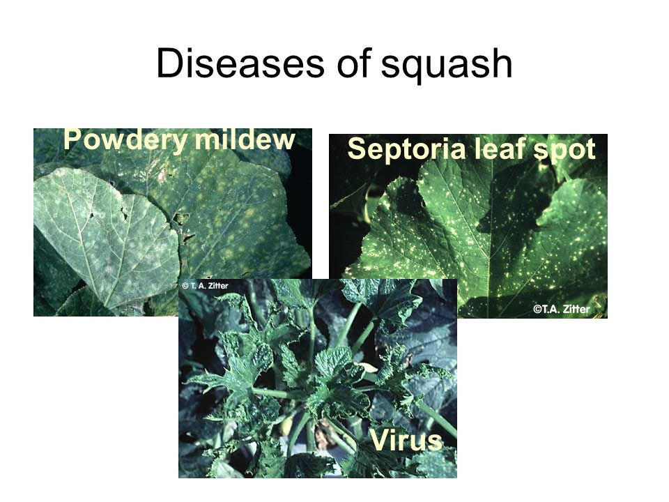 Diseases of squash Septoria leaf spot Powdery mildew Virus