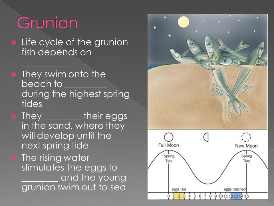  Life cycle of the grunion fish depends on _______ __________  They swim onto the beach to _________ during the highest spring tides  They ________