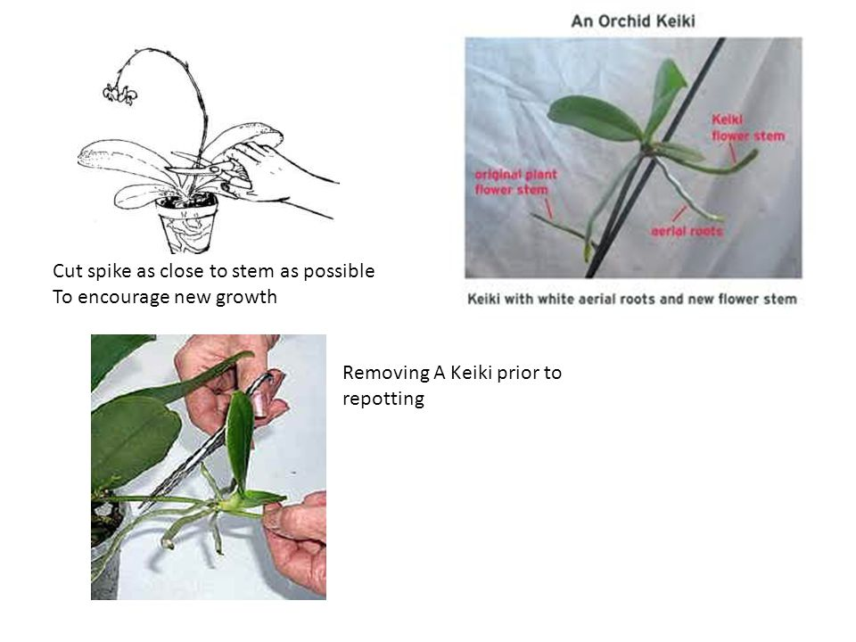 Cut spike as close to stem as possible To encourage new growth Removing A Keiki prior to repotting