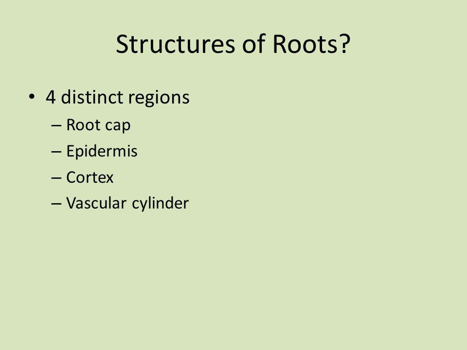 Structures of Roots? 4 distinct regions – Root cap – Epidermis – Cortex – Vascular cylinder