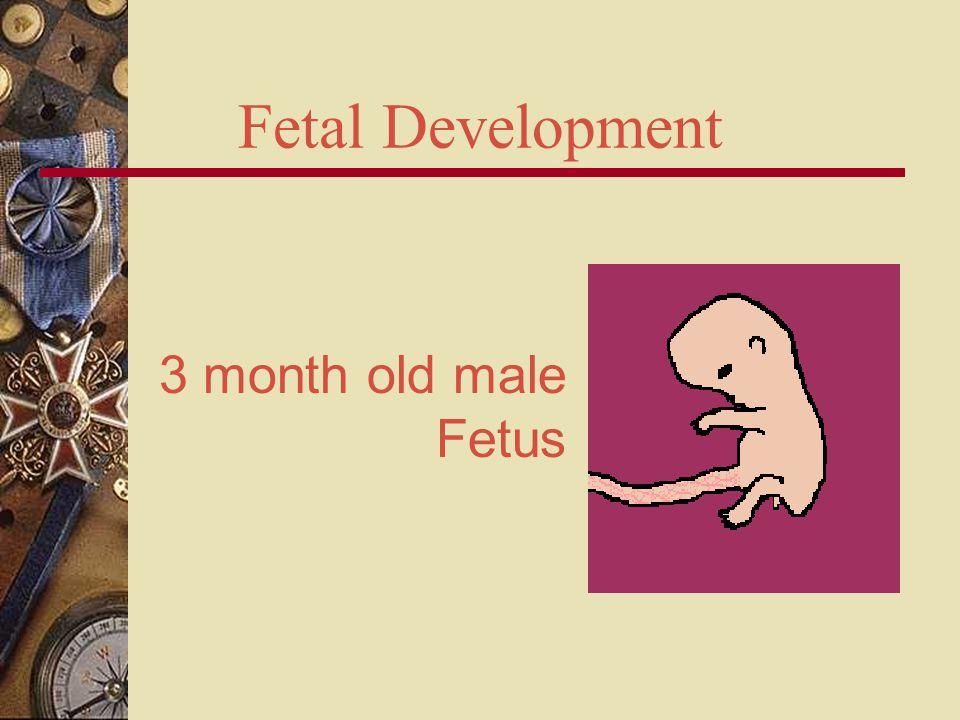 Fetal Development 3 month old male Fetus