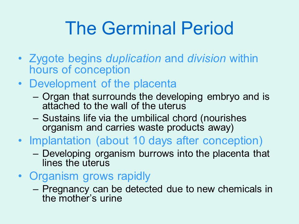 The Germinal Period Zygote begins duplication and division within hours of conception Development of the placenta –Organ that surrounds the developing