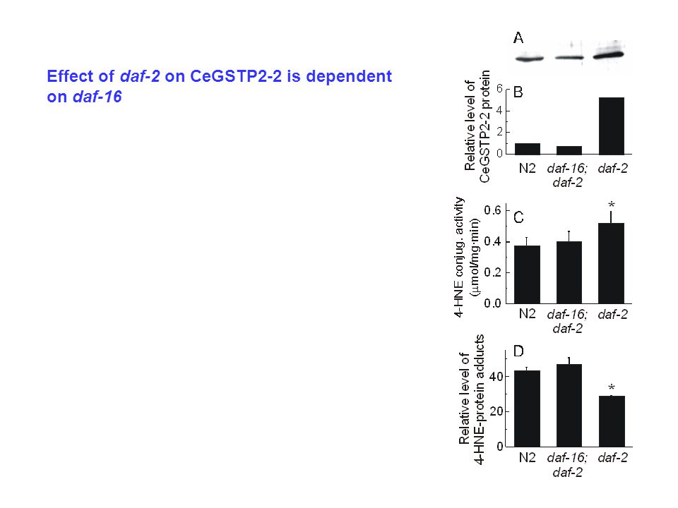 Effect of daf-2 on CeGSTP2-2 is dependent on daf-16