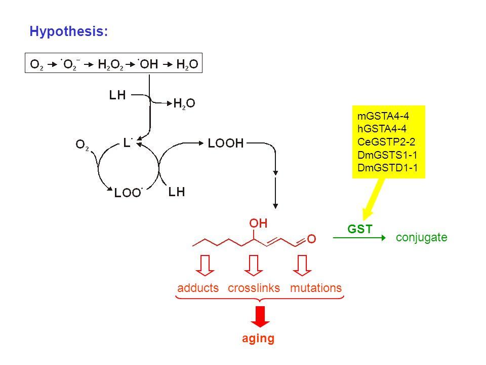 Hypothesis: adductscrosslinksmutations aging GST conjugate mGSTA4-4 hGSTA4-4 CeGSTP2-2 DmGSTS1-1 DmGSTD1-1