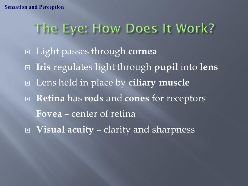Cornea Iris Pupil Lens Ciliary muscle Retina Fovea Optic nerve