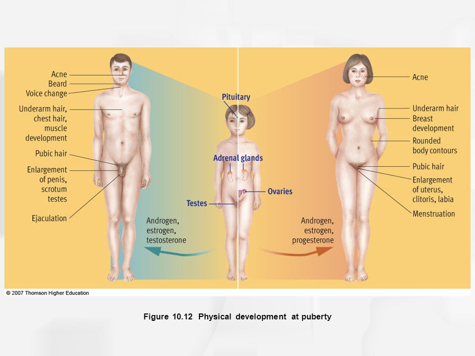 Figure 10.12 Physical development at puberty