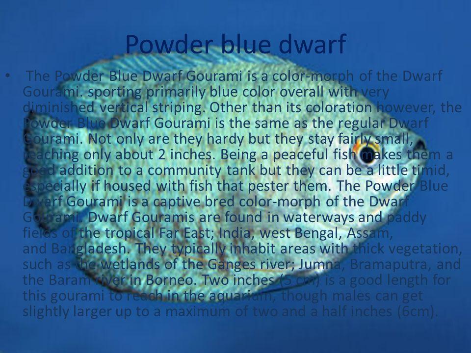 Powder blue dwarf The Powder Blue Dwarf Gourami is a color-morph of the Dwarf Gourami.