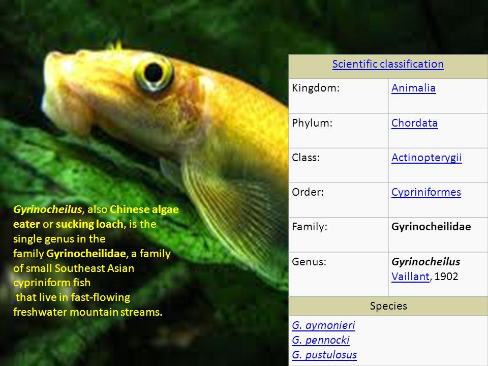 Scientific classification Kingdom:Animalia Phylum:Chordata Class:Actinopterygii Order:Cypriniformes Family:Gyrinocheilidae Genus:Gyrinocheilus Vaillant, 1902 Vaillant Species G.
