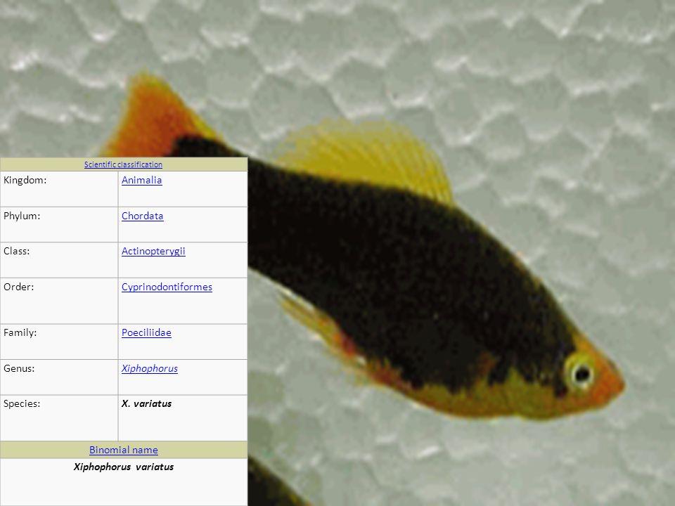 Scientific classification Kingdom:Animalia Phylum:Chordata Class:Actinopterygii Order:Cyprinodontiformes Family:Poeciliidae Genus:Xiphophorus Species:X.