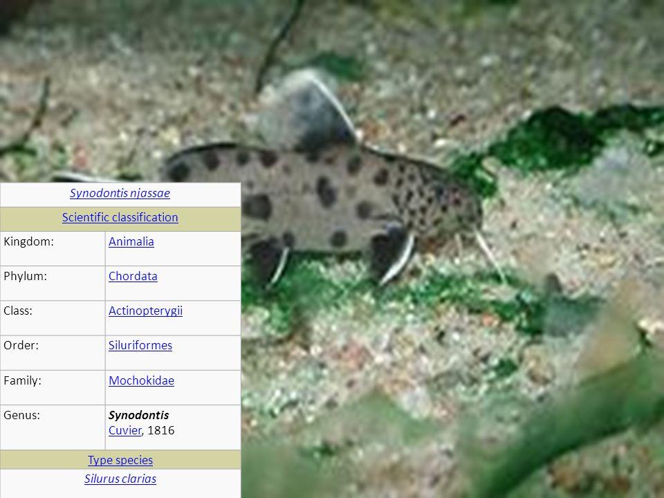 Synodontis njassae Scientific classification Kingdom:Animalia Phylum:Chordata Class:Actinopterygii Order:Siluriformes Family:Mochokidae Genus:Synodontis Cuvier, 1816 Cuvier Type species Silurus clarias