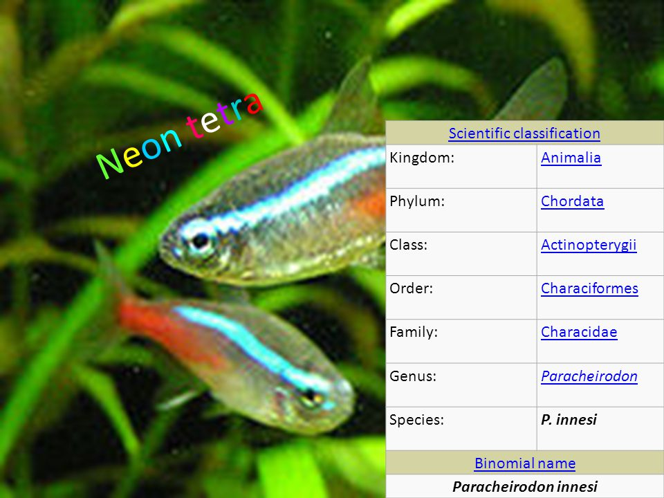 Neon tetraNeon tetra Scientific classification Kingdom:Animalia Phylum:Chordata Class:Actinopterygii Order:Characiformes Family:Characidae Genus:Paracheirodon Species:P.