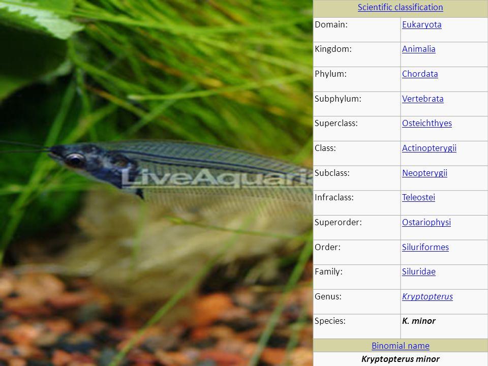 Scientific classification Domain:Eukaryota Kingdom:Animalia Phylum:Chordata Subphylum:Vertebrata Superclass:Osteichthyes Class:Actinopterygii Subclass:Neopterygii Infraclass:Teleostei Superorder:Ostariophysi Order:Siluriformes Family:Siluridae Genus:Kryptopterus Species:K.
