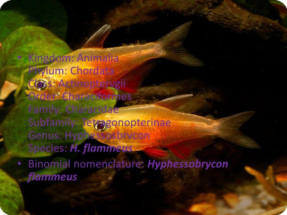 Kingdom: Animalia Phylum: Chordata Class: Actinoptervgii Order: Characiformes Family: Characidae Subfamily: Tetragonopterinae Genus: Hyphessosbrvcon Species: H.