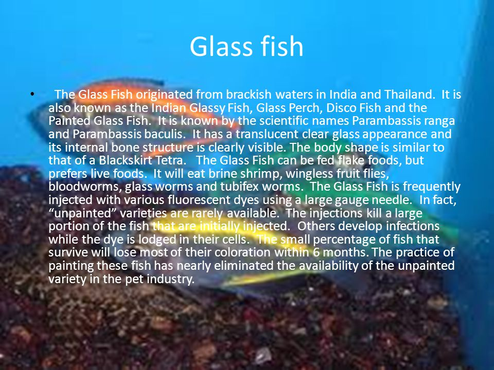 Glass fish The Glass Fish originated from brackish waters in India and Thailand.