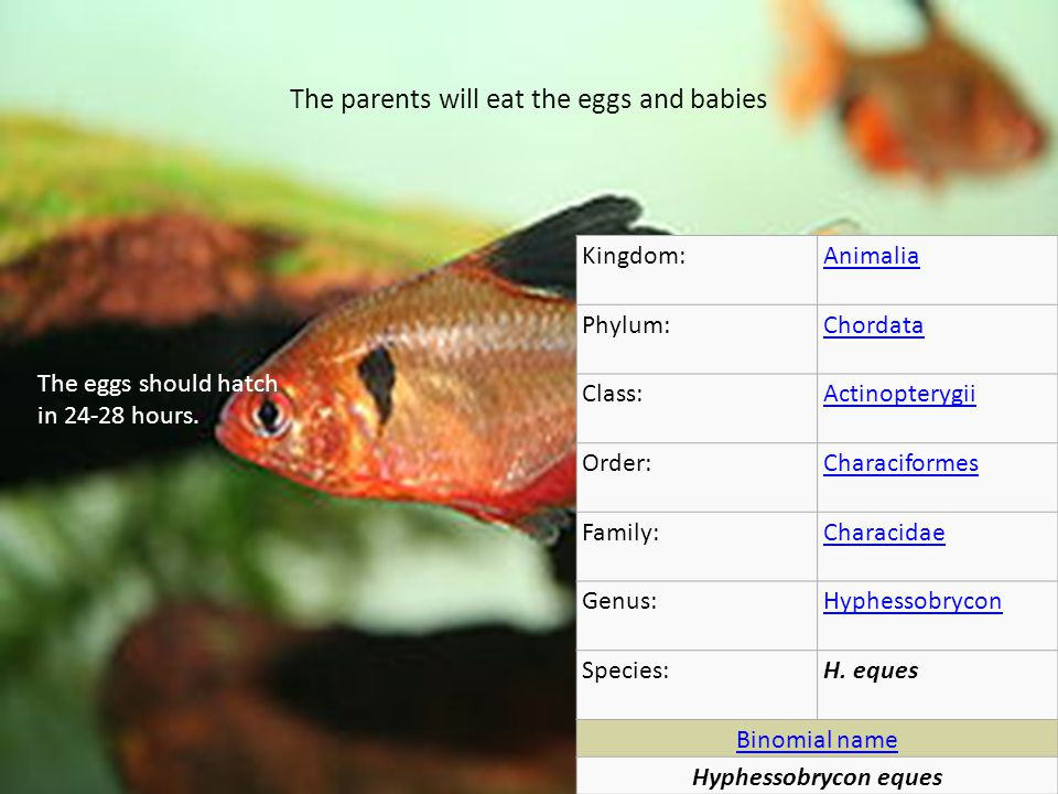 The parents will eat the eggs and babies Kingdom:Animalia Phylum:Chordata Class:Actinopterygii Order:Characiformes Family:Characidae Genus:Hyphessobrycon Species:H.