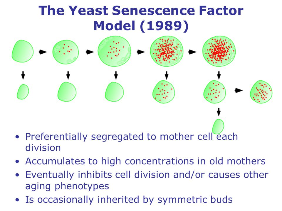 The Yeast Senescence Factor Model (1989) Preferentially segregated to mother cell each division Accumulates to high concentrations in old mothers Eventually inhibits cell division and/or causes other aging phenotypes Is occasionally inherited by symmetric buds