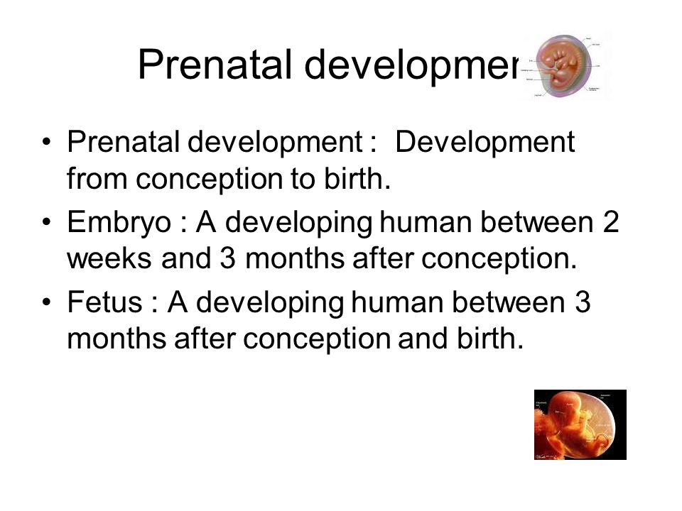 Prenatal development Prenatal development : Development from conception to birth.